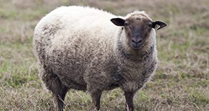 Photo of a sheep standing in a field.