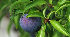 A close-up of a plum on a tree.