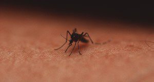 Close up of a mosquito. UF/IFAS File Photo