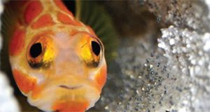 A close-up photo of an orange mottled Stonogobiops yasha fish hovering over its tiny eggs