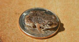 A close-up photo of one of the abovedescribed raisin-sized froglets seated on a dime. It fits easily within the area of the dime, leaving a substantial margin uncovered: a very small frog.