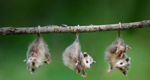 A photo of three young possums hanging by their tails from a branch.