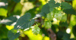 Hops cones on the vine. Credit: Tyler Jones, UF/IFAS