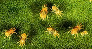 Magnified photo of seven twospotted spider mites againsta a mottled green background; presumably a leaf.