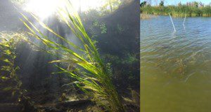 Left: SAV meadow in clear spring water. Right: pondweed seen from the surface of a dark lake.