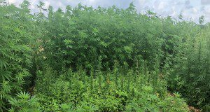 Hemp (Cannabis sativa) cultivation in Florida. Credits: Luis Monserrate, graduate student, UF/IFAS Agronomy Department