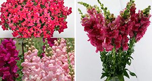 Different uses of snapdragons.