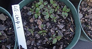 Young garden spurge seedlings, approximately 2 weeks after germination.