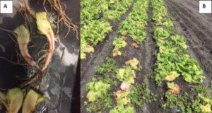 Pink-brown taproot discoloration caused by Fusarium oxysporum f.sp. lactucae (A). Iceberg field in the Everglades Agricultural Area (EAA) colonized by a wilting disease in the 2017– 2018 season identified as Fusarium wilt of lettuce (B). Credits: Germán Sandoya, UF/IFAS