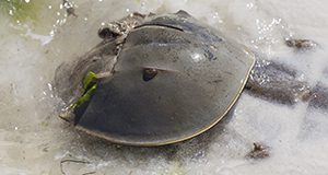 A photo of a horseshoe crab on the beach partially covered by a shallow wave with seaweed around it and clinging to it and sunshine gleaming on its shell.