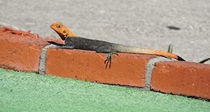 A photo of a male Peters's rock agama on a low brick wall showing to good effect its orange head and tail and charcoal-colored midsection, all set off nicely by the orange bricks and green artificial turf in the foreground.