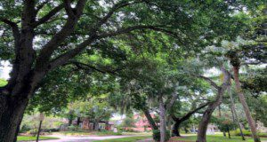 Residential trees like these in Pinellas County provide many benefits. Credits: Deborah R. Hilbert, UF/IFAS