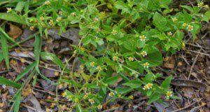 Galinsoga (Galinsoga quadriradiata) shoots. Credits: Annette Chandler, UF/IFAS