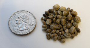 Hemp seeds for CBD with a quarter for size comparison. Photo taken 06-12-19.  Photo Credits:  UF/IFAS Photo by Tyler Jones