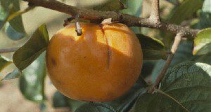 Stink bug on persimmon fruit. Credits: UF/IFAS