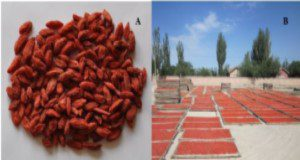 Ripe goji berry dried in the sun in China. Credits: Manhe Jiao, Yinchuan, Ningxia, China
