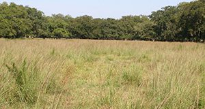 Smutgrass infestations are common in bahiagrass pastures throughout Florida.