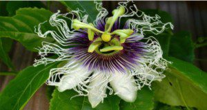 Flower morphology of passion fruit. Credits: Amir Rezazadeh, UF/IFAS