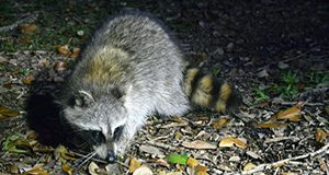 photo of a raccoon taken at night and spotlit by the flash.