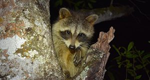 A raccoon perched in a lichen-covered tree at night faces the camera. One forepaw is visible.