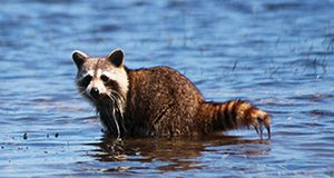 Photo of a raccoon standing in shallow water in the daytime. It has spotted the photographer and is gazing at the camera.
