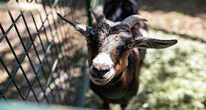 Goat in a pen. Photo taken 10-05-19.