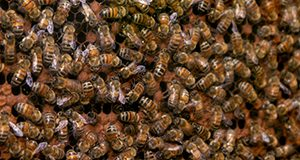Photo of a mass of bees on honeycomb.