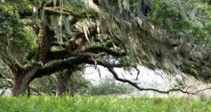 An oak tree in a pasture. Credits: Tyler Jones, UF/IFAS