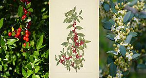 Three images of yaupon holly branches. From left to right, a photo of leaves and ripe berries in bright sunshine, an illustratuino of  a branch with leaves and red, ripe berries, and a photo of leaves and pale green buds, some blooming and producing white, four-petaled flowers.