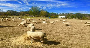 Florida Native sheep from Fairmeadow Sheep Farm.