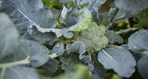 Photo of broccoli florets and leaves.