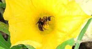 A close-up photo of a male squash bee visiting a squash flower.