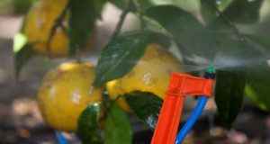 Microsprinkler irrigation on oranges.