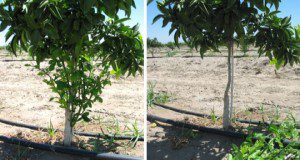 Removal of sucker shoots from rootstock, bud union, and tree trunk, before (left) and after (right). Credit: International Citrus Technologies Pty Ltd, Western Australia