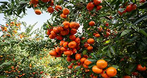 Clusters of tangerines on a citrus tree. Photo taken 01-22-10.