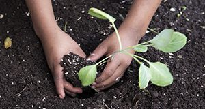 A photo of a child's hands planting a vegetable in soil.
