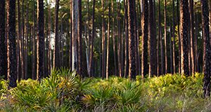 Pine trees and palmetto underbrush at the Austin Cary Forest. Woods, natural resources, timber. UF/IFAS Photo by Dawn McKinstry.