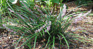 Liriope. Credits: UF/IFAS Gardening Solutions