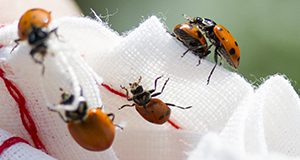 Photo of five ladybugs on a white woven cloth bag.